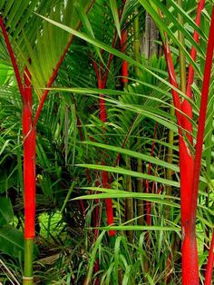 Red Sealing Wax Palm - Hoomaluhia Botanical Garden-Hawaii- I wonder how hard tropicals are to grow PROPERLY here? Tropical Landscaping, Landscaping Plants, Tropical Garden, Tropical Plants, Landscaping Ideas, Desert Botanical Garden, Botanical Gardens, Different Plants, Types Of Plants