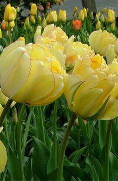 ~~Tulip 'Akebona' ~ a stunning, semi-double tulip