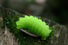 Luna moth caterpillar.