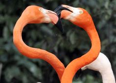 A pair of Caribbean flamingos form a heart shape with their necks on Valentine's Day, as they perform courtship dances at the Saitama Children's Zoo in Higashimatsuyama, Saitama prefecture, north of Toky