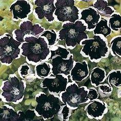 150 Graines Nemophila-Maculata Five Spot