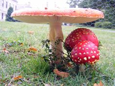 fly agaric mushrooms at Brodsworth Hall and Gardens in South Yorkshire