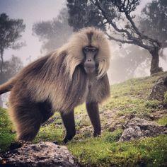 Ethiopia's Bleeding Heart Baboon (or Lion Monkey / Gelada Baboon) Gorgeous!