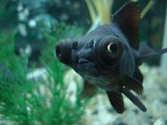 Black Moor Goldfish Care – The Fast, Quick & Easy Guide Black Goldfish, Goldfish Care, Goldfish Types, Comet Goldfish, Goldfish Aquarium, Goldfish Bowl, Fish Aquariums, Lionhead Goldfish, Oranda Goldfish