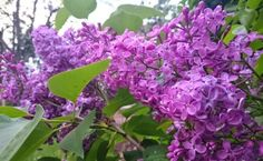 LILIAC Plants, Flora, Plant, Planting