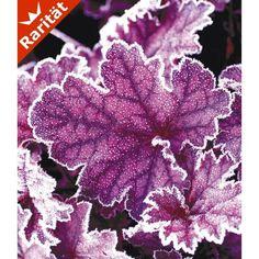 Heuchera 'Midnight Bayou', 1 Pflanze - BALDUR-Garten GmbH