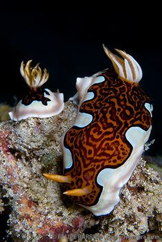 Goniobranchus gleniei (Nudibranchia - Chromodorididae), a colorful sea slug distributed in the Indo-Pacific, formerly named Chromodoris gleniei [1]. This Chromodorid is a relatively uncommon species. The coloration is very disctinctive, being the only species with the brown medial patch with deep purple or black markings, and an undulating margin. The other species having an undulating pattern on its dorsum is Chromodoris coi. Goniobranchus gleniei exhibits variations in the coloration of…