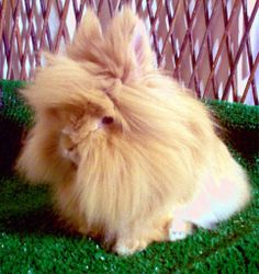 Lion head rabbits are a special breed of bunny rabbits that have extra fur around their head that resemble the mane of a lion. They are cute, gentle and furry animals and make wonderful pets. Lionhead Rabbit, Lionhead Bunnies, Bunny Rabbits, Animals And Pets, Cute Animals, Small Animals, Beautiful Rabbit, Raising Rabbits, Silly Rabbit