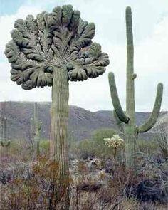 Crested versus regular Saguaro