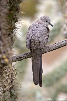 Inca Dove, Columbina inca: resident in SE CA, AZ, NM, S TX. Also in tropica