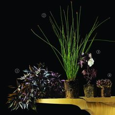 (Almost) Black Plants-1. Ornamental Sweet Potato Vine   2. Small Cape Rush    3. Black Cotton    4. Hens and Chicks