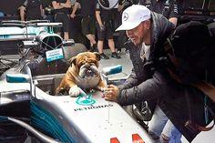 Roscoe dreams of being an driver. Roscoe and Lewis Hamilton at the 2017 Spanish GP in Barcelona. Ricciardo F1, Daniel Ricciardo, English Bulldog Funny, British Bulldog, Lewis Hamilton, Awesome Shoes, George Michael, Sports Stars, Random Pictures