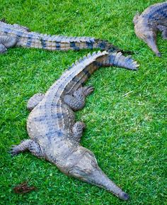 #currumbin #aussie #australia #crocodile #croc #reptile #animal #animallovers #animalsofinstagram #nature #goldcoast #currumbinwildlifesanctuary #travel #wanderlust #instatravel #travelgram #ig #igers #instalike #instadaily #instapic #instagood #instagram #picoftheday #photooftheday by jdubbs79 http://ift.tt/1X9mXhV