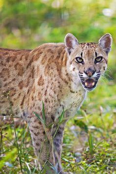 1000+ images about Big Cats on Pinterest | Jaguar ...