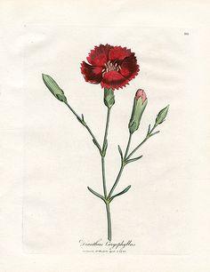 Woodville Medical Botany Prints 1790
