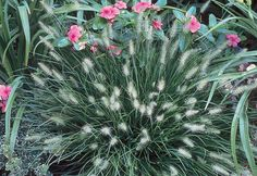 Little Bunny fountain grass (Pennisetum alopecuroides 'Little Bunny') is the smallest fountain grass of all and features fluffy, buff-colored blooms. Home Depot sells a variety of perennial ornamental grasses. Read more about them in the Garden Club.