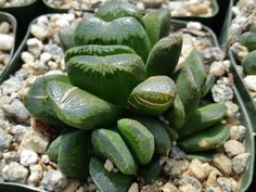 "Haworthia Truncata V. Maughanii (This plant comes in a 3 1/4"" pot. You will receive a very similar, almost identical plant to the one on the picture. It may or may not be blooming at the time of your"