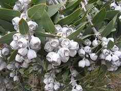 Eucalyptus pleurocarpa – Tallerack