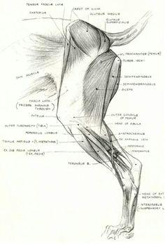 Muscles patte arriere