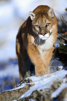 """beautiful-wildlife: """"Mountain Lion by © suhaderbent """" - Nature beauty - Animals Big Cats, Cool Cats, Cats And Kittens, Nature Animals, Animals And Pets, Cute Animals, Beautiful Cats, Animals Beautiful, Big Cat Family"""