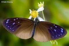Butterflies of Singapore: Butterfly of the Month - September 2014