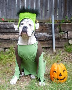Bubba, a bulldog puppy in L.A., went as Frankendog! #pets #dogs #halloween #halloweencostumes #petcostumes #NoShameInHalloween