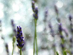twinkle of labender by Mika I. Twinkle Twinkle, Blackberry, Art Photography, Fine Art, Fruit, Flowers, Plants, Beauty, Lavender