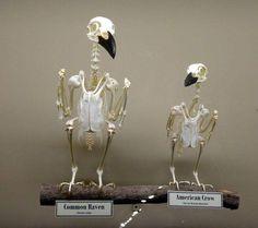 Raven versus crow skeleton Photo: Museum of Osteology Crow Art, Raven Art, Skeleton Photo, Blackbird Singing, Quoth The Raven, Animal Skeletons, Jackdaw, Crows Ravens, Animal Bones