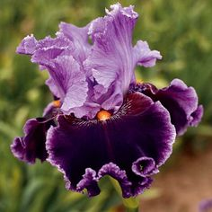 Bearded Iris | about town tall bearded