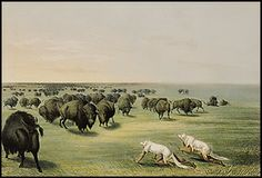"""Buffalo/Bison--Art appreciation: George Catlin, """"Under the White Wolf Skin"""", 1844, Amon Carter Museum in Fort Worth, TX, Toned lithograph. (who, what, when, where, how--one fact for each finger on child's hand)"""