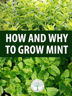 How and Why to Grow Mint Everything you need to know about starting from seed, growing, taking care of and harvesting mint. We also talk about its many varieties.