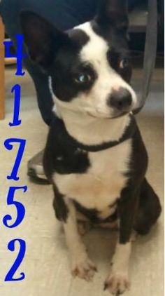 ((ONLY Available for a limited time)) #41752 Boston Terrier Mix • Young • Male • Small at the  Lawrence County Dog Shelter  1302 Adams Lane Ironton, OH 45638. Please call the dog warden at 740-533-1736  for further details. Unfortunately the pound does not have long distance calling so please call back if...