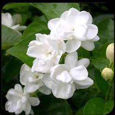 Jasmine has a warm, exotic, floral scent that relaxes, calms, enhances and … - GArdendiy. Jasmine Plant, Jasmine Oil, White Jasmine, Gardenias, White Flowers, Beautiful Flowers, Arabian Jasmine, Pictures Of Jasmine, Smelling Flowers