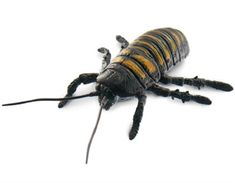 Scurry and Scare Pull-Back Action Hissing Cockroach by Uncle Milton Uncle Milton has taken the classic pull-back toy to an entirely new, and freaky, level with Bug Toys, Hobby Toys, Toy Sale, Plastic Models, Educational Toys, Bugs, Animals, Action, Lab