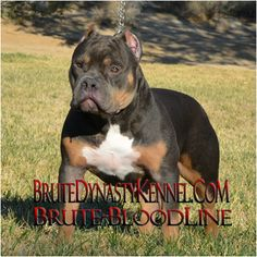 11 Best Bully Pit Bull Puppies images in 2016 | Bully pitbull, Pit