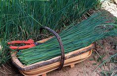 Récolter la ciboulette, herbe aromatique du potager. Des soins des tiges à la coupe et à la conservation des feuilles : les bons gestes de jardinage.