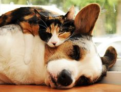 Cats and Dogs time: Cats time (hora de gatos) Animals And Pets, Funny Animals, Sleepy Animals, Funny Kittens, Unlikely Animal Friends, Animal Gato, Calico Cats, Super Cute Animals, Adorable Animals