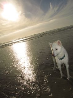 my #jindo loves the beach!!!