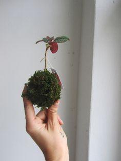 mini+závěsná+Kokedama+pryšec+Kokedama+je+původem+z+Japonska,+ale+i+u+vás+doma+bude+vypadat+překrásně.+Jedná+se+o+moderní+trend+v+pěstování+interierových+rostlin.+Mechová+koule,+jak+zní+i+překlad+z+japonštiny,+je+jakousi+náhradou+za+květník.+Jen+je+oproti+květníku+o+moc+stylovější.+kokedama+je+opatřena+háčkem+pro+zavěšení. String Garden, Herbs, Mini, Herb, Medicinal Plants