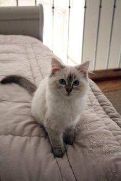 #Flanelle #Ragdoll #Cat #kitten