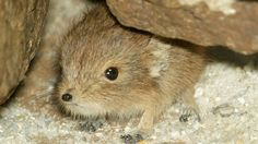Is short-eared elephant shrew the most adorable name ever? Yes, yes it is, and it is adorable.