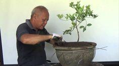 Bonsai Tutorials for Beginners: How to bonsai a Lemon tree from Nursery - Published on Jun 1, 2015.  Bonsai Tutorial for beginner: How to bonsai a Lemon Tree from Nursery stock using Co-Lander and Roadstick techniques.  https://instagram.com/bonsai.iligan/  https://www.facebook.com/pages/Bonsai...  http://bonsaiiligan.tumblr.com/