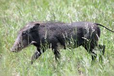 Warthog, Kruger National Park by Kleinz1, via Flickr