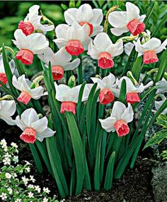 Dwarf Narcissi 'Bell Song'   Flower Bulbs from Spalding Bulb