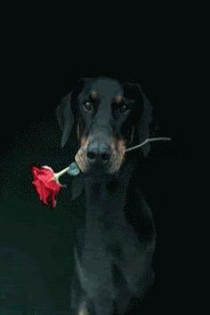 Dobie with rose.