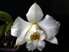 Mini-orquídea Laelia alaorii alba