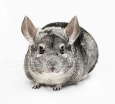 Chinchilla....I had 4 at one short time. My first was one like this named McCarthy, after the Chinchilla farmer from whom he was purchased and saved from being part of a coat.