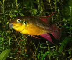 """Studio Kwaak: TE KOOP Pelvicachromis taeniatus """"moliwe"""" nakweek"""