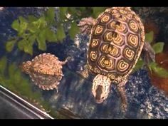 Yellow blotched map yellow blotched map turtle for sale from the