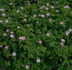79 best tiny flowering weeds images on pinterest cannabis garden image detail for geranium endressii wargrave pink parkway potential find this pin and more on tiny flowering weeds mightylinksfo